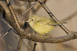 Adult Orange-crowned Warbler (Oreothlypis celata) in early January.