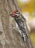 Male Yellow-bellied Sapsucker (Sphyrapicus varius) in early November.