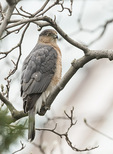 Subadult Cooper's Hawk (Accipiter cooperii) in mid-January.