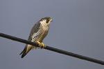 Adult Peregrine Falcon (Falco peregrinus) in late February.