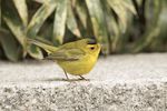 Wilson's Warbler(Cardellina pusilla) in late January.