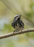 Male Black-and-white Warbler (Mniotilta varia) in early May on spring migration.