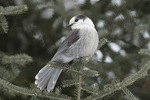 Gray Jay (Perisoreus canadensis) in late January. Spruce Bog Boardwalk, Algonquin Provincial Park. Ontario, Canada.