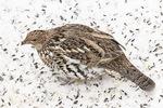 First-winter rufous-morph Ruffed Grouse (Bonasa umbelllus) below bird feeder in late January.