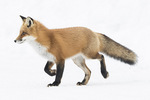 Red Fox (Vulpes vulpes) running on snow in late January.