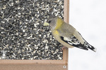 Female Evening Grosbeak (Cocothraustes vespertinus) at feeder in late January.