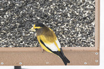 Male Evening Grosbeak (Cocothraustes vespertinus) at feeder in late January.