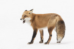 Red Fox (Vulpes vulpes) in late January.