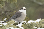 Gray Jay (Perisoreus canadensis) in late January.