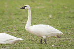 Adult Trumpeter Swan (Cygnus buccinator) in late February.