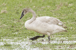 First-winter Trumpeter Swan (Cygnus buccinator) in late February.