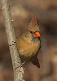 Female Northern Cardinal (Cardinalis cardinalis) in mid-February.