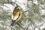 First-winter male Evening Grosbeak (Cocothraustes vespertinus) in late January.
