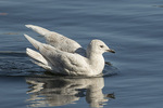 First-winter Iceland Gull (Larus glaucoides) in mid-February.