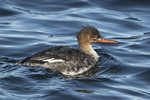 Red-breasted Merganser (Mergus serrator) in mid-February.