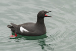 Pigeon Guillemot (Cepphus columba) in early March.