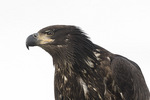 Close-up of juvenile Bald Eagle (Haliaeetus leucocephalus) in late February. Delta, British Columbia, Canada.