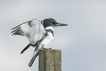 Male Belted Kingfisher (Megaceryle alcyon) in late February.