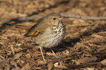 Hermit Thrush (Catharus guttatus), a bird that over-wintered, in early March.