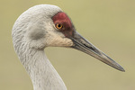 Sandhill Crane (Grus canadensis) in late February.