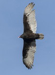 Turkey Vulture (Cathartes aura) in flight in mid-March.