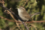 Bewick's Wren (Thryomanes bewickii) singing in late February.