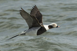 Adult male Long-tailed Duck (Clangula hyemalis) in winter plumage in flight in mid-March.