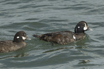 Female (left) and first-cycle male Harlequin Ducks (Histrionicus histrionicus) in mid-March.