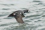 Adult male Harlequin Duck (Histrionicus histrionicus) in flight in mid-March.