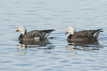 Dark-morph Snow Geese (Chen caerulescens) in mid-March.