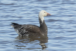Dark-morph Snow Goose (Anser caerulescens) in mid-March.