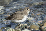 Dunlin (Calidris alpina) in late February.