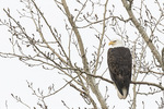 Adult Bald Eagle (Haliaeetus leucocephalus) in late February.
