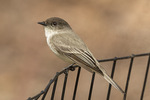 Eastern Phoebe (Sayornis phoebe) in mid-March on spring migration.