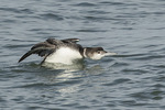 Common Loon (Gavia immer) threat posture in mid-March.