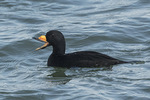Male Black Scoter (Melanitta americana) calling in mid-March. Barnegat Lighthouse State Park, New Jersey.