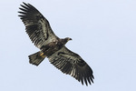 Juvenile Bald Eagle (Haliaeetus leucocephalus) in flight in late February.