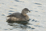 Pied-billed Grebe (Podilymbus podiceps) in mid-March.