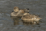 Gadwall (Mareca strepera) pair, male at left in mid-March.