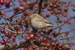 Female House Finch (Haemorhous mexicanus) feeding in crab apple in mid-November.
