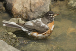Leucistic female American Robin (Turdus migratorius) in early June.