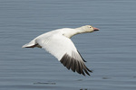 Adult Snow Goose (Chen caerulescens) in flight in mid-March.