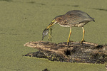 Immature Green Heron (Butorides virescens) fishing in early September.