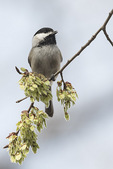Black-capped Chickadee (Poecile atricapillus) singing in elm in late March.
