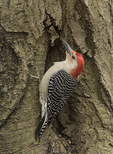 Male Red-bellied Woodpecker (Melanerpes carolinus) in late March.