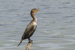 Immature Double-crested Cormorant (Phalacrocorax auritus) in late May.