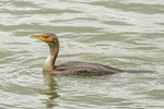 Immature Double-crested Cormorant (Phalacrocorax auritus) in mid-October.