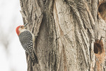 Male Red-bellied Woodpecker (Melanerpes carolinus) near a hole it is excavating in a Black Locust in late March.