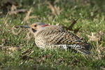Male Northern Flicker (Colaptes auratus) foraging on the ground in late March.