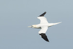 Northern Gannet (Morus bassanus) in flight in late March.
